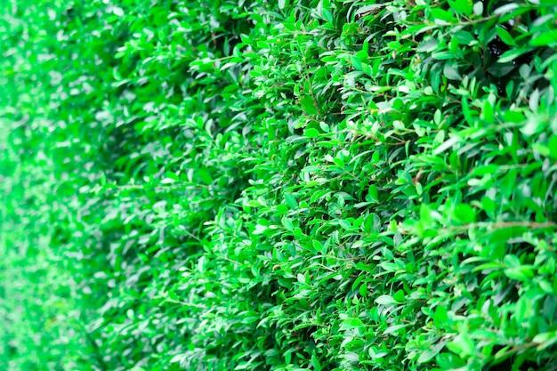 梅雨の時期に自然の木の壁が成長