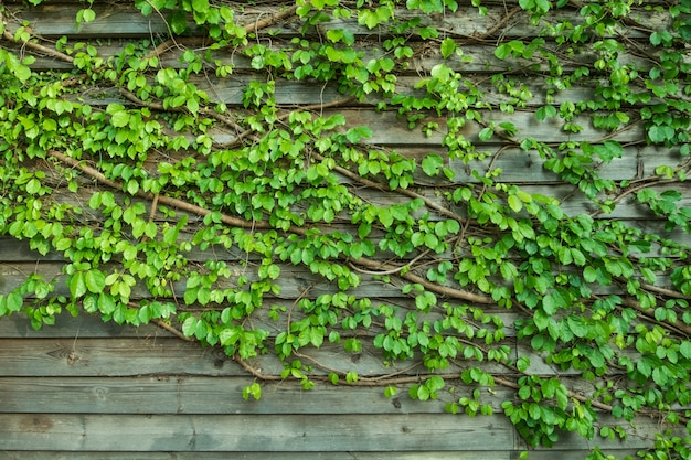 Natural vines and green leaf turn on a pattern wooden wall background.