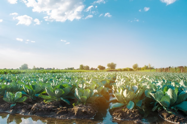 Natural watering of agricultural crops, irrigation. cabbage plantations grow in the field.