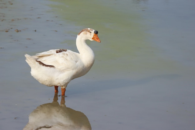 A natural white duck standing and looking for food on green pond.
