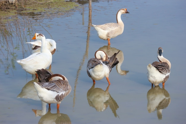Natural white ducks standing and looking for food on green pond.