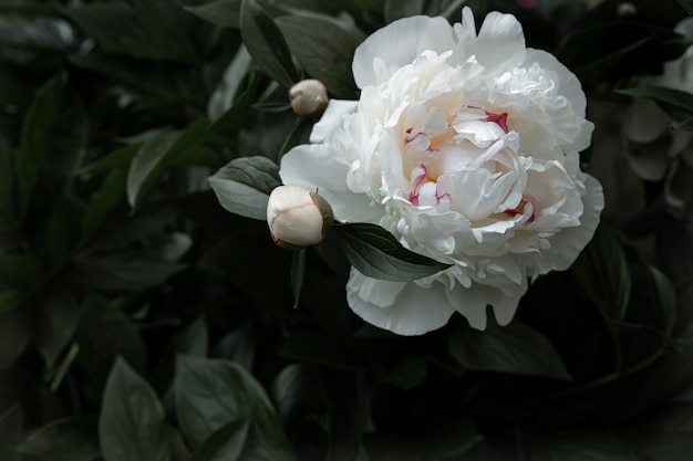 Peonia bianca naturale tra le foglie copia spazio