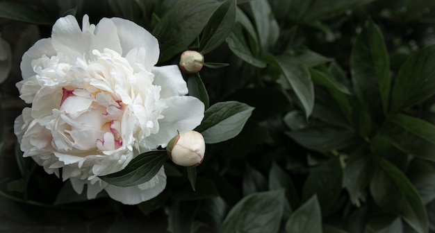 Natural white peony among the leaves copy space.