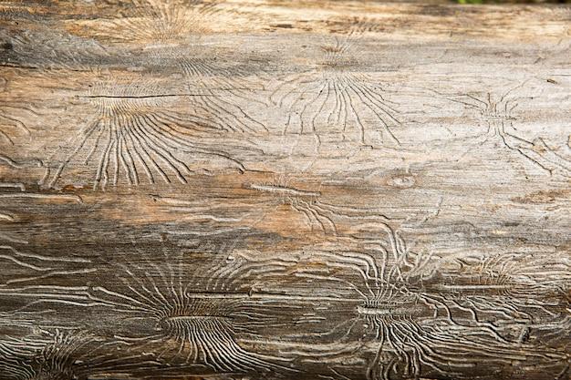 거미 모양의 껍질 딱정벌레가 그린 선이있는 천연 나무 질감. 배경, 나무 껍질 딱정벌레, 나무 줄기