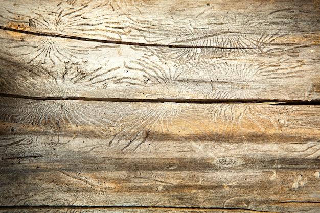 Текстура натурального дерева с линиями, нарисованными короедом в форме пауков. фон, короед, ствол дерева