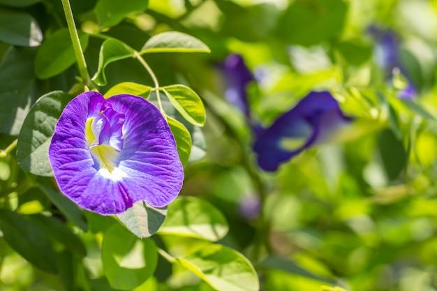 自然の背景、青い花、蝶のエンドウ。