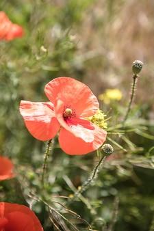 Природа фон цветок восход солнца мака. уайлдфлауэр.