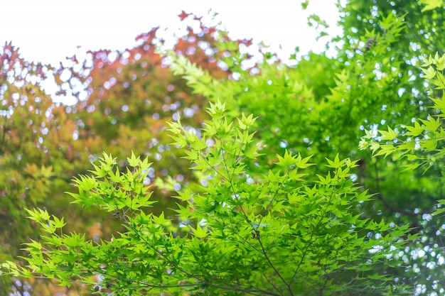 Nature background of green japanese maple tree.