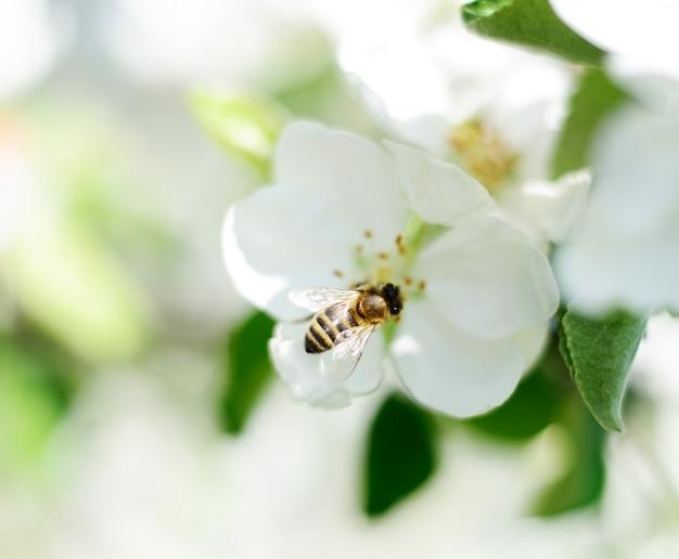 자연 배경입니다. 꿀벌과 하얀 사과 꽃.