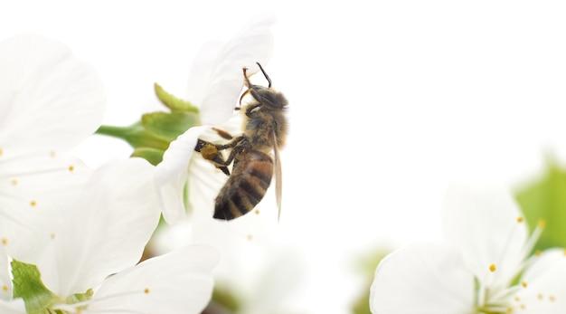 자연 배경입니다. 꿀벌과 흰색 벚꽃 꽃입니다.