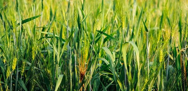 緑の麦畑の自然の背景