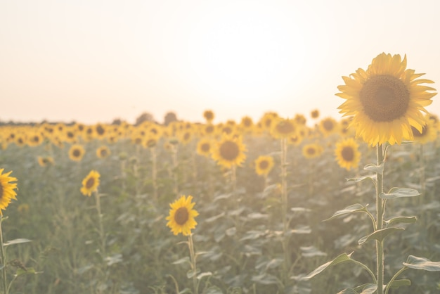 Nature background. sunflower field in sunset, copy space
