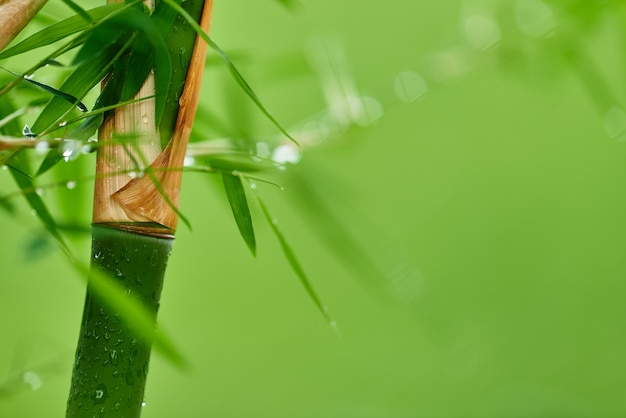 Nature bamboo branches with rain drops and green blurred background.