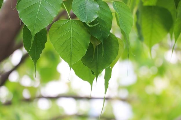 自然bo緑の葉の枝の木