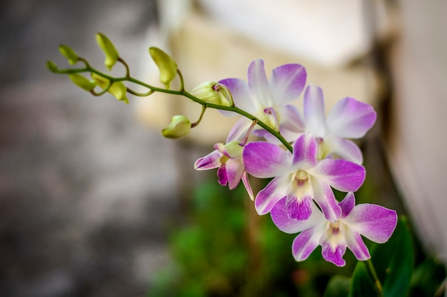 Nature closeup blooming orchid flower