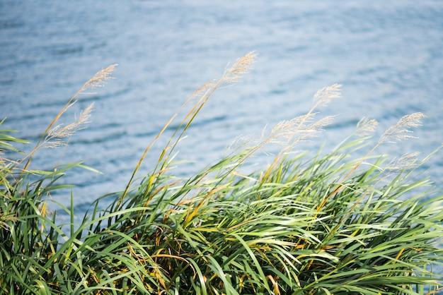 自然沿岸葦と輝く湖の水