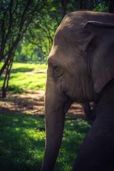 タイの森の自然ゾウ