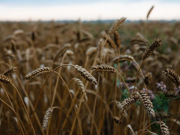 自然畑農業穀物景観夏の新鮮な空気