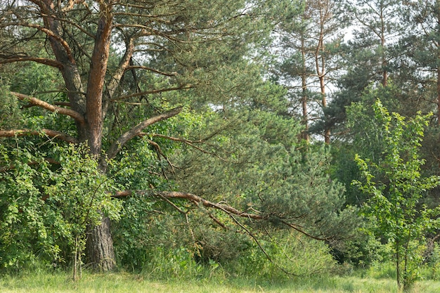 Nature in the forest, conifers and other plants