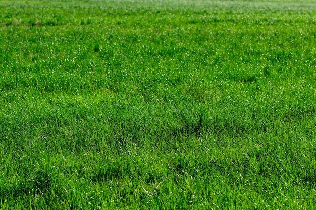 자연 녹색 잔디 배경 상위 뷰를 닫습니다