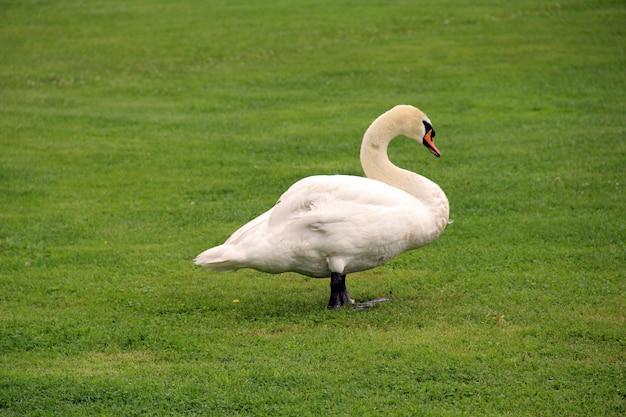 自然緑の芝生の白鳥的環境動物
