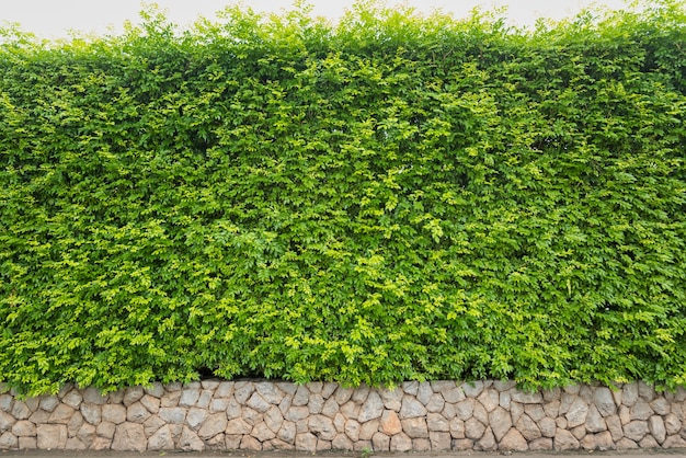 Nature green leaf background or backdrop, natural green ivy hedge with limestone