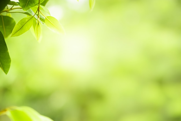 Nature green leaves on blurred greenery tree background with sunlight