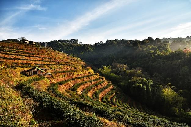 Природный ландшафт 2000 чайной плантации, doi ang khang, чианг-май, таиланд