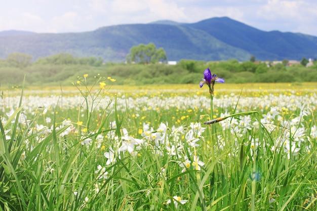 白い野生の成長している水仙の花の開花草原の自然風景。ウクライナのカルパチア山脈の水仙の谷、山のハスト春。