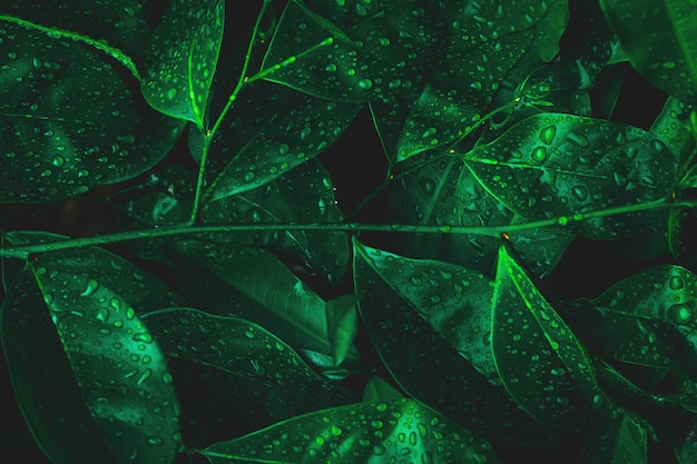 Nature leaf with dew on dark forest background. rainforest environment.
