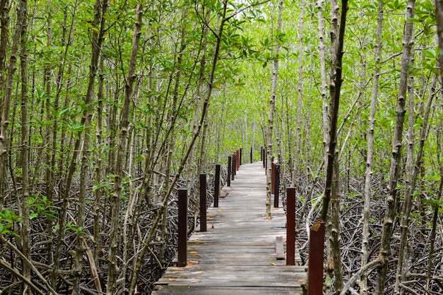 Nature learning path, made from wooden, and walk through ceriops tagal forest