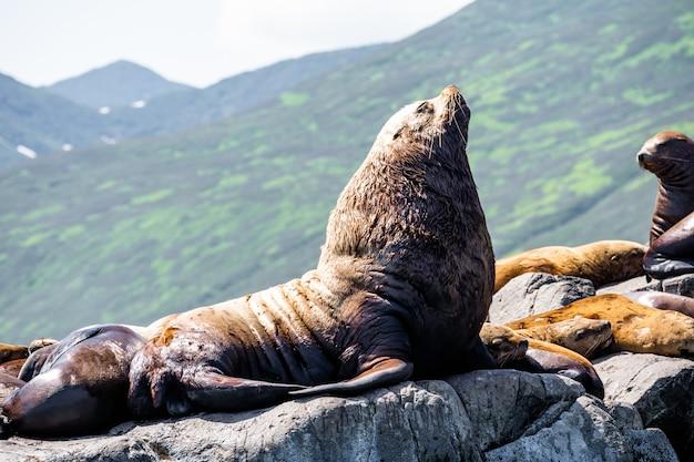 Природа камчатки: лежбище морского льва стеллера или северного морского льва (eumetopias jubatus).