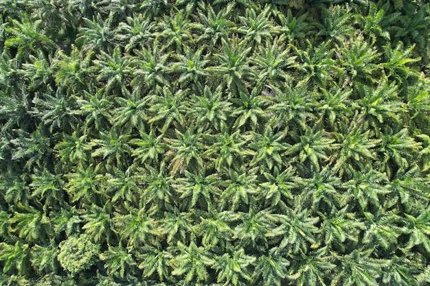 Плантация пальмового масла картины природы от предпосылки природы вида с воздуха.