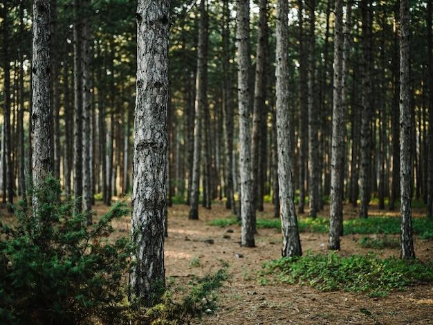 自然松林新鮮な空気緑の草秋。高品質の写真