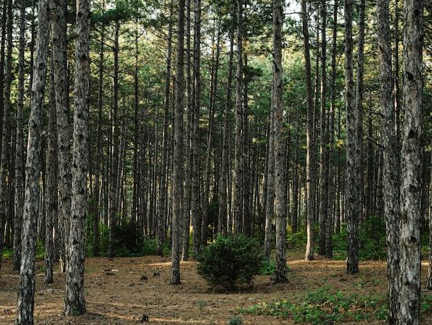 자연 소나무 숲 신선한 공기 푸른 잔디 가을