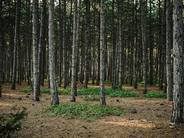 自然松林新鮮な空気緑の草秋