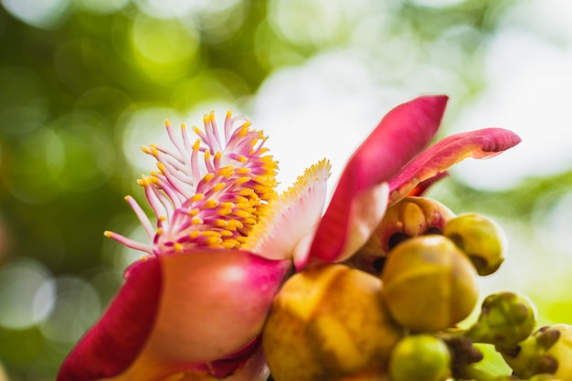 Nature scene of closeup couroupita guianensis or sal flower or cannonball tree flower