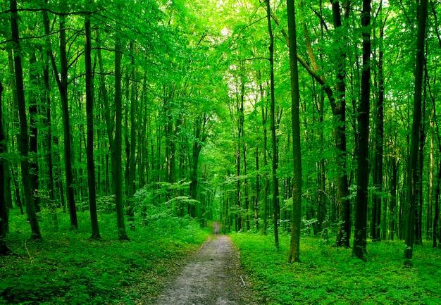 自然の木。日光のある森の中の小道