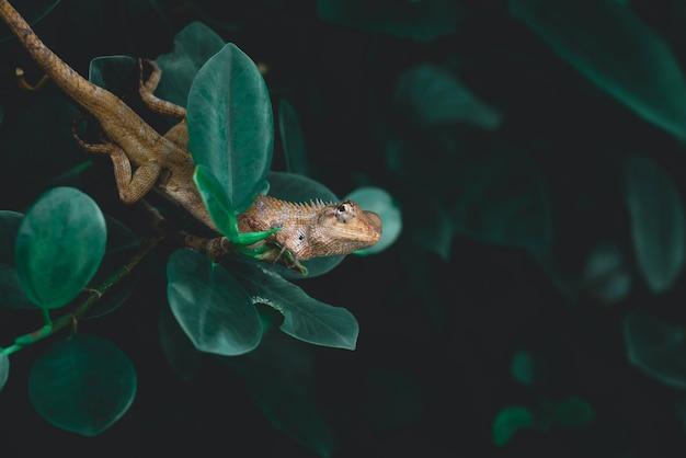 Взгляд природы рептилий на зеленой предпосылке лист. хамелеон прилипая на хворостинах. имеет место для копирования, использующееся в качестве фона естественной экологии. крупный план