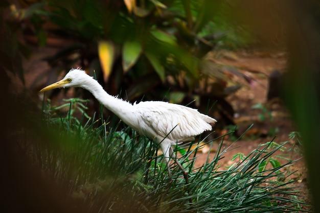 白鷺鳥またはbubulcusibisまたはサギのとまり木と害虫のための野生植物の自然野生生物の画像