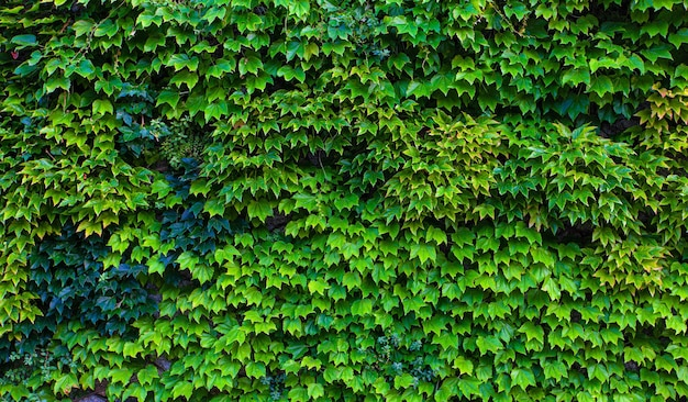 The naturel green leaves wall background. selective focus