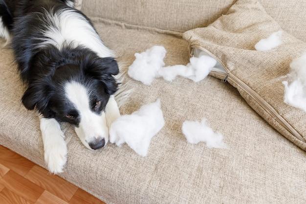 自宅のソファに横たわっているいたずら噛む枕の後のいたずら遊び心のある子犬の犬のボーダーコリー