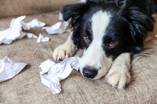 Naughty playful puppy dog border collie after mischief biting toilet paper lying on couch at home. guilty dog and destroyed living room. damage messy home and puppy with funny guilty look.