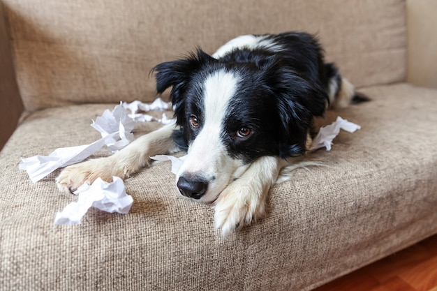 Naughty playful puppy dog border collie after mischief biting toilet paper lying on couch at home.