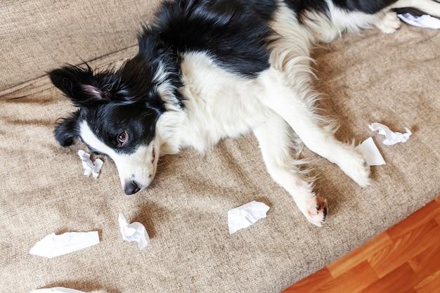 Непослушный щенок бордер-колли после озорства кусает туалетную бумагу, лежа на диване дома