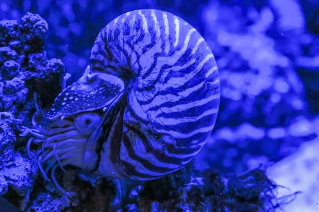 Моллюск nautilus pompilius сидит на коралле фото в синем цвете