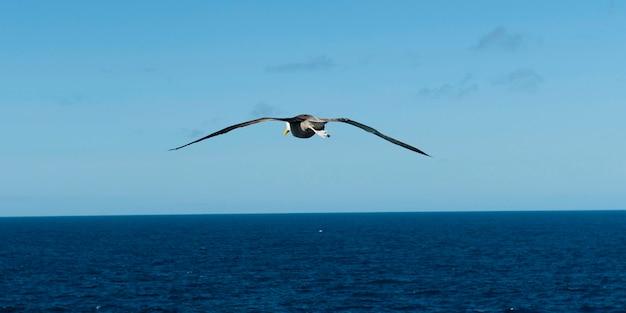 Nazca booby (sula granti) flying over the pacific ocean, punta suarez, espanola island, galapagos islands, ecuador