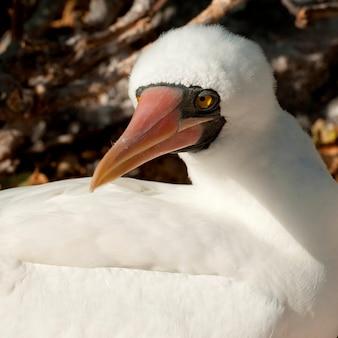 Nazca booby (sula granti), genovesa island, galapagos islands, ecuador