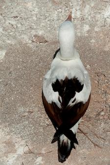 Nazca booby (sula granti), prince philip's steps, genovesa island, galapagos islands, ecuador
