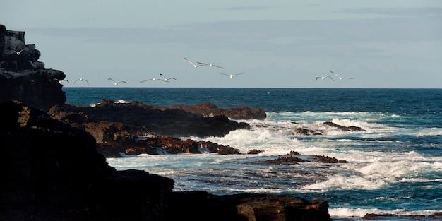 Nazca booby (sula granti), punta suarez, espanola island, hood island, galapagos islands, ecuador